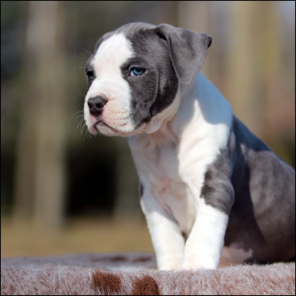 Cucciolo American Staffordshire Terrier