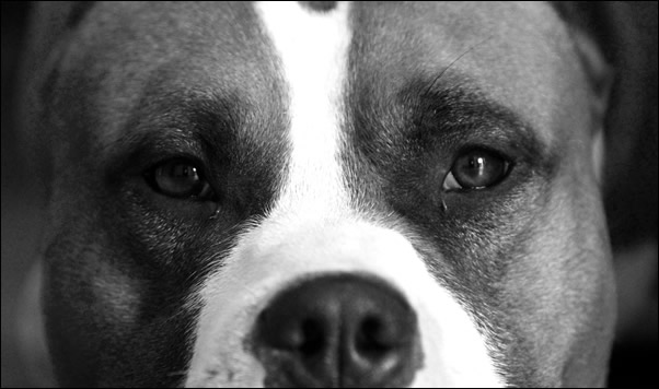 Nozioni American Staffordshire Terrier